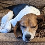 Dog on a couch. Beagle